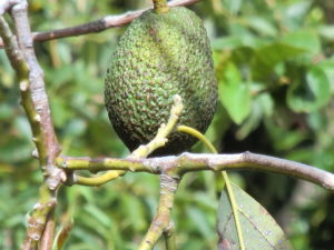 Avocado am Baum
