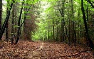 Die Wald-Lichtung, ein Pfad durch den Wald.