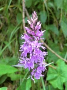 Orchidee: Knabenkraut breitblättrig rot