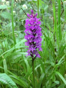 Orchidee: Knabenkraut purpur