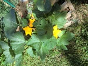 Zuccinipflanze