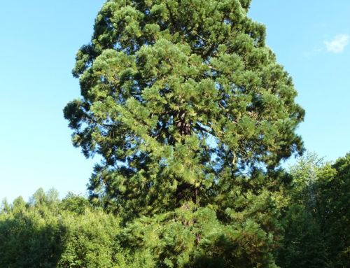 Sequoia – der Mammutbaum