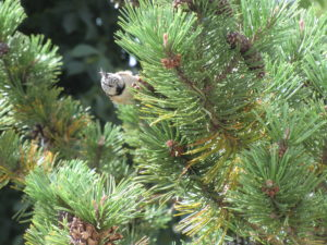 Die Haubenmeise – Singvogel