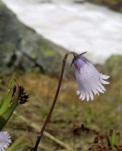 Eisglöckchen  (Soldanella pusilla), auch Kleines Alpenglöckchen und Zwerg-Troddelblume.