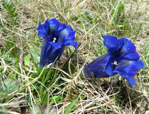 Enzian (Gentiana) – Eine Alpenblume neu entdecken