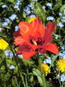 Tulpe, rot