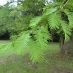 Zweig des Urweltmammutbaum – Metasequoia glyptostroboides