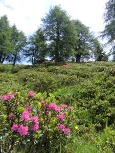 Alpenrosen in Osttirol
