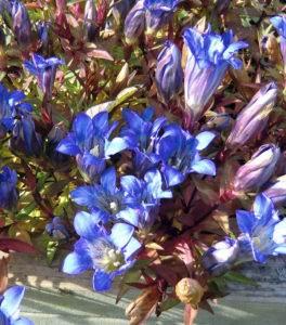 Kultivierte Enzianart in meinem Garten
