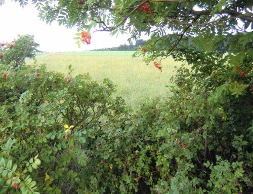 Hagebutte und Eberesche – Herbstliche Wildfrüchte