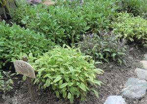 Verschiedene Arten der Gattung Salbei (Salvia) im Schulgarten, Irschen
