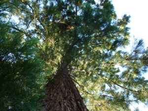 Urweltmammutbaum – Metasequoia glyptostroboides, Blick nach oben in die Krone (Sequoiadendron giganteum)