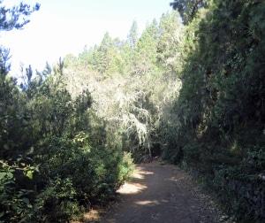 Hier noch auf dem breiten Forstweg durch die Kiefernwälder oberhalb von Orotava