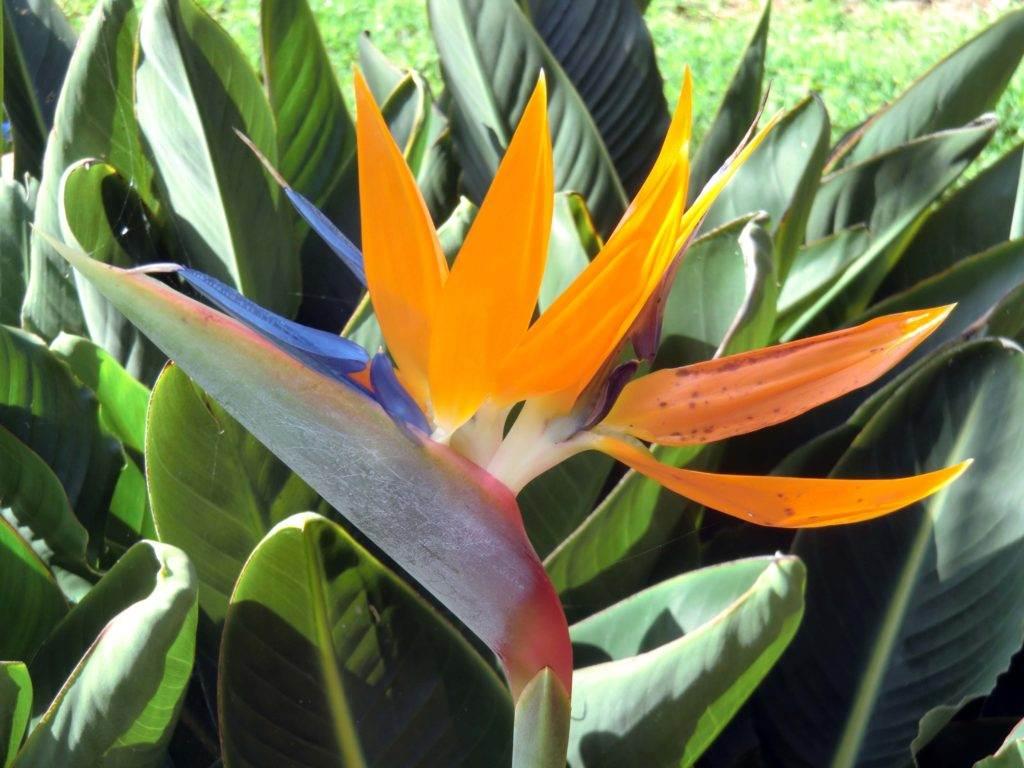 Papageienblume (strelizie regina)