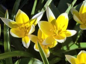 Tulpen, Abkömmling der Wildform