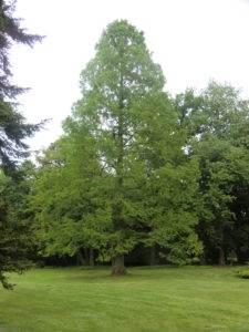 Urweltmammutbaum – Metasequoia glyptostroboides im Frühjahr