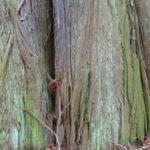 Urweltmammutbaum – Metasequoia glyptostroboides, Einbuchtungen im Stamm