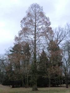 Urweltmammutbaum – Metasequoia glyptostroboides im Winter