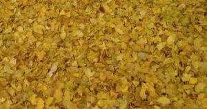Ginkgo Blätter bilden im Herbst einen gelben Teppich.