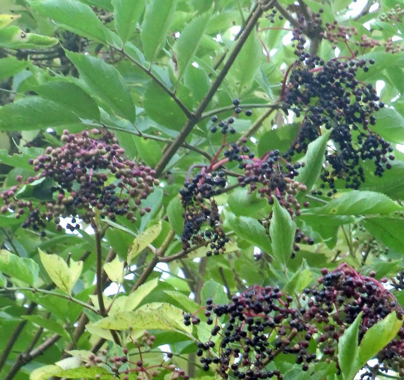 Hollerbusch pflanzen märchen
