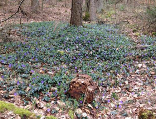 Pflanzengeschichten – Wilde Frühjahrsblüher
