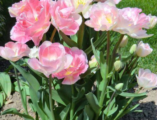 Pflanzengeschichten – Tulpe (Tulipa)