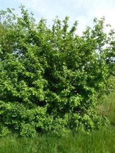 Malus sylvestris Naturlehrpfad