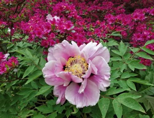 Im Garten 4 – Pfingstrose – Paeonia, Teil 1