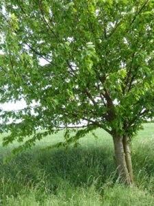Prunus avium naturlehrpfad