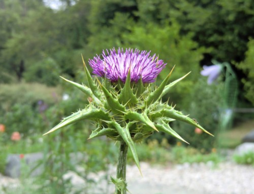 Pflanzengeschichten – Mariendistel (Silybum marianum)