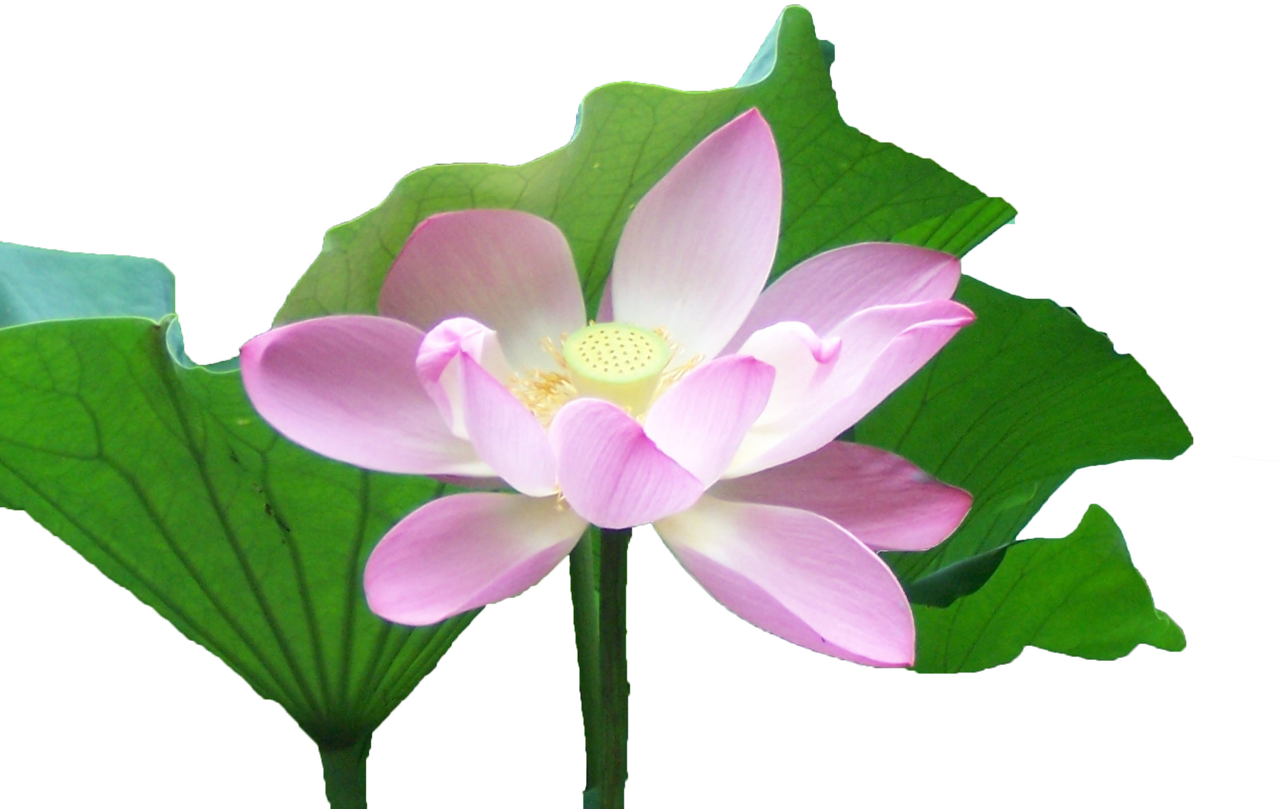 Lotus Bluete Meditation und Fasten