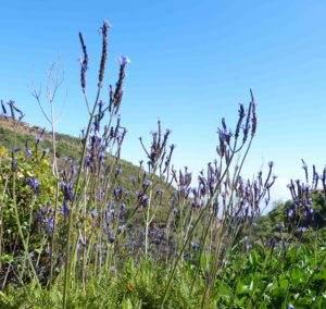 Kanarischer Lavendel (Lavandula pinnata
